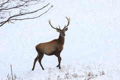 Portrait of young  red deer in snow Royalty Free Stock Image