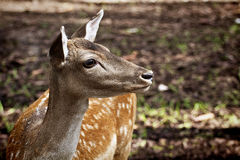 Portrait of young red deer in wild Royalty Free Stock Photo