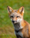 Portrait of a young red fox. Young - 8-10 months old red fox posing for picture Royalty Free Stock Photos
