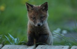 Red fox cub portrait Stock Image