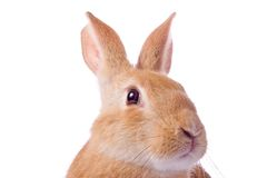 Portrait of young red rabbit Stock Photo