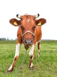 Portrait of young red and white spotted cow. Cow muzzle close up. Cow grazing on the farm. Meadow Stock Photo