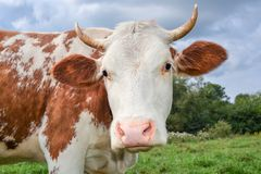 Portrait of young red and white spotted cow. Cow muzzle close up. Cow grazing on the farm. Meadow Stock Photography