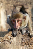 Portrait of young rhesus macaque Royalty Free Stock Photo