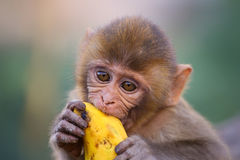 Portrait of young Rhesus macaque eating banana Royalty Free Stock Photography