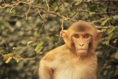 Portrait of young Rhesus Macaque, New Delhi Stock Photos
