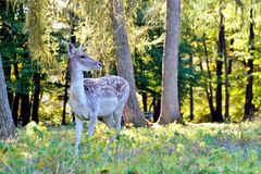 Portrait of a young roe deer, in a summer amidst a forest in an german wildlife nature park. stock photo