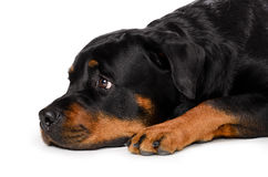 Portrait of young Rottweiler Stock Images