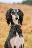 Portrait of young saluki Stock Photography