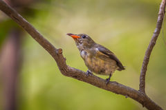 Portrait of young Scarlet-backed Flowerpecker Royalty Free Stock Photos