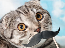 Portrait of a young Scottish Fold cat with paper mustaches Royalty Free Stock Images