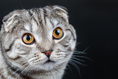 Portrait of a young Scottish Fold cat Royalty Free Stock Photo