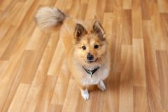 Portrait of a young Shetland Sheepdog. Indoors stock images
