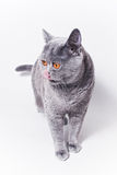 Portrait of young short-haired British gray cat Royalty Free Stock Photo
