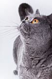 Portrait of young short-haired British gray cat Royalty Free Stock Images