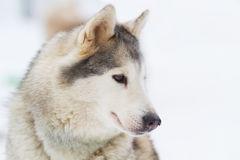Portrait Young siberian Husky on snow Royalty Free Stock Image