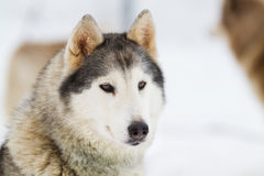Portrait Young siberian Husky on snow Royalty Free Stock Photography
