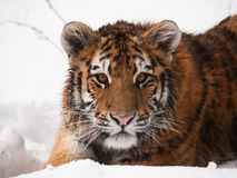 Portrait of young siberian tiger - Panthera tigris altaica Royalty Free Stock Photo