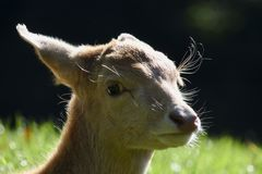 Portrait of a young sika deer royalty free stock image
