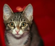 Portrait of a young and smart cat. A small kitten playing climbed into the red box which served as a good background royalty free stock photography
