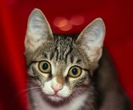 Portrait of a young and smart cat. A small kitten playing climbed into the red box which served as a good background stock photo