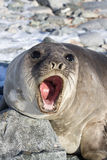 Portrait of a young southern elephant seal who growls. A summer day Royalty Free Stock Photos
