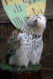 Siberian eagle owl - Bubo bubo sibiricus. Portrait of a young specimen of Siberian eagle owl - Bubo bubo sibiricus. control of the territory in search of prey or stock image