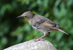 Portrait of a young Starling Royalty Free Stock Images