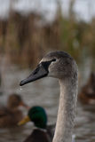Portrait of a young swan Stock Photos