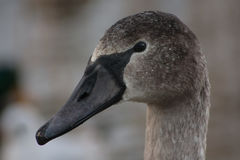 Portrait of a young swan Stock Images
