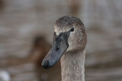 Portrait of a young swan Royalty Free Stock Photography