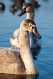 Portrait of a young swan (Cygnus olor), Poland,Pogoria lake. Winter time. Stock Photos