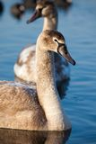 Portrait of a young swan (Cygnus olor), Poland,Pogoria lake. Winter time. Stock Images