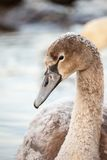 Portrait of a young swan (Cygnus olor), Poland,Pogoria lake. Winter time. Royalty Free Stock Image