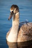 Portrait of a young swan (Cygnus olor), Poland,Pogoria lake. Winter time. Royalty Free Stock Photos