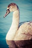 Portrait of a young swan (Cygnus olor), Poland,Pogoria lake. Winter time. Stock Photography