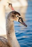 Portrait of a young swan (Cygnus olor), Poland,Pogoria lake. Winter time. Royalty Free Stock Photos