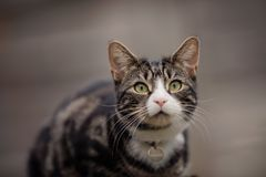 Portrait of Young Tabby and White Cat royalty free stock photos