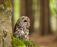 Portrait of young tawny owl in foters - Strix aluco Stock Photography