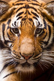 Portrait of young tiger Royalty Free Stock Photo