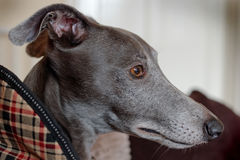 Portrait of a Young Whippet. Lomo Effect. Royalty Free Stock Images