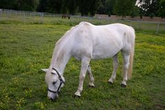 Portrait of a young white foal while eating on background of a green grass stock image