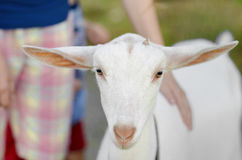 Portrait of Young White Goat Stock Photo
