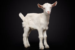 Portrait of a young white goat Royalty Free Stock Image