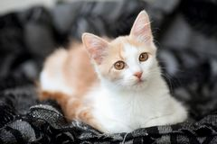 Portrait of a young white and light ginger tabby cat with beautiful, motley copper coloured eyes resting at home. Portrait of a young white and light ginger royalty free stock images