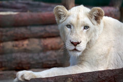 Portrait of a young white lion Royalty Free Stock Image