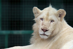 Portrait of a young white lion Royalty Free Stock Photo