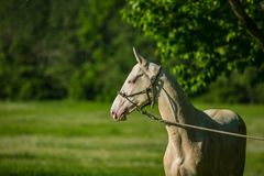 Portrait of young white stallion of Akhal Teke horse breed. From desert with horse halter on standing in a pasture, green grass and trees in background royalty free stock image