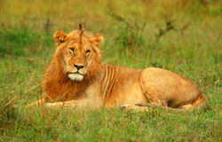 Portrait of young wild african lion. Africa. Kenya. Masai Mara stock photos