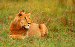 Portrait of young wild african lion. Africa. Kenya. Masai Mara stock photography